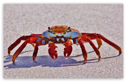 Big Red Crab Macro ❤ 4K UHD Wallpaper for Wide 16:10 5:3 Widescreen WHXGA WQXGA WUXGA WXGA WGA ; 4K UHD 16:9 Ultra High Definition 2160p 1440p 1080p 900p 720p ; Standard 3:2 Fullscreen DVGA HVGA HQVGA ( Apple PowerBook G4 iPhone 4 3G 3GS iPod Touch ) ; Mobile 5:3 3:2 16:9 - WGA DVGA HVGA HQVGA ( Apple PowerBook G4 iPhone 4 3G 3GS iPod Touch ) 2160p 1440p 1080p 900p 720p ;