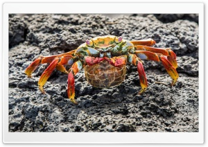 Big Red Crab On Stone HD Wide Wallpaper for Widescreen