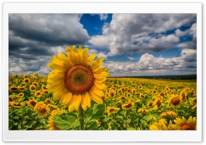 Big Sunflower In The Field HD Wide Wallpaper for 4K UHD Widescreen desktop & smartphone