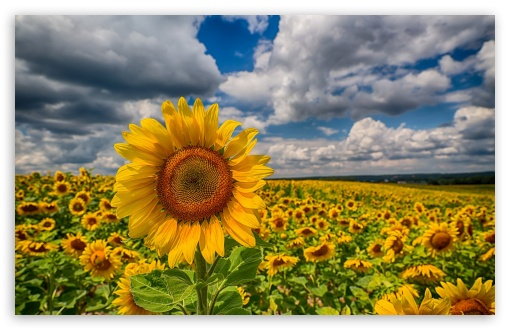 Big Sunflower In The Field ❤ 4K UHD Wallpaper for Wide 16:10 5:3 Widescreen WHXGA WQXGA WUXGA WXGA WGA ; 4K UHD 16:9 Ultra High Definition 2160p 1440p 1080p 900p 720p ; Standard 4:3 5:4 3:2 Fullscreen UXGA XGA SVGA QSXGA SXGA DVGA HVGA HQVGA ( Apple PowerBook G4 iPhone 4 3G 3GS iPod Touch ) ; Tablet 1:1 ; iPad 1/2/Mini ; Mobile 4:3 5:3 3:2 16:9 5:4 - UXGA XGA SVGA WGA DVGA HVGA HQVGA ( Apple PowerBook G4 iPhone 4 3G 3GS iPod Touch ) 2160p 1440p 1080p 900p 720p QSXGA SXGA ;