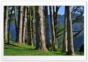 Big Trees HD Wide Wallpaper for Widescreen