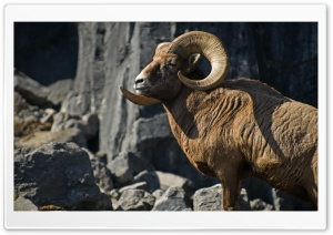 Bighorn Sheep HD Wide Wallpaper for Widescreen