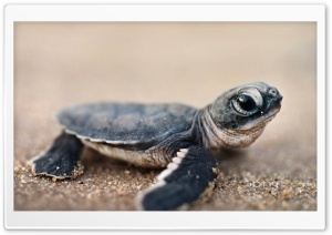 Bing Baby Turtle Ultra HD Wallpaper for 4K UHD Widescreen desktop, tablet & smartphone