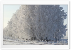 Birch Forest, Winter HD Wide Wallpaper for Widescreen
