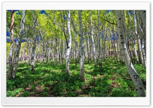 Birch Grove HD Wide Wallpaper for 4K UHD Widescreen desktop & smartphone