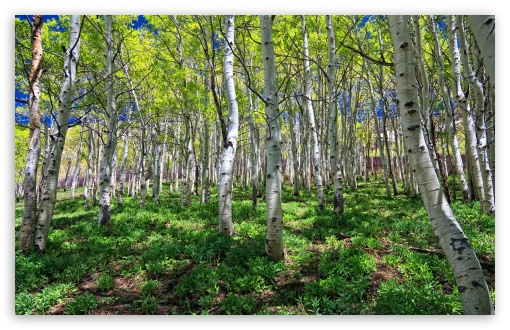 Birch Grove HD wallpaper for Wide 16:10 5:3 Widescreen WHXGA WQXGA WUXGA WXGA WGA ; HD 16:9 High Definition WQHD QWXGA 1080p 900p 720p QHD nHD ; Standard 4:3 5:4 3:2 Fullscreen UXGA XGA SVGA QSXGA SXGA DVGA HVGA HQVGA devices ( Apple PowerBook G4 iPhone 4 3G 3GS iPod Touch ) ; Tablet 1:1 ; iPad 1/2/Mini ; Mobile 4:3 5:3 3:2 16:9 5:4 - UXGA XGA SVGA WGA DVGA HVGA HQVGA devices ( Apple PowerBook G4 iPhone 4 3G 3GS iPod Touch ) WQHD QWXGA 1080p 900p 720p QHD nHD QSXGA SXGA ;