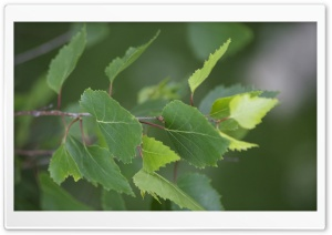 Birch Leaves HD Wide Wallpaper for Widescreen