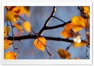 Birch Tree, Autumn HD Wide Wallpaper for Widescreen
