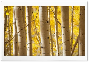 Birch Trees HD Wide Wallpaper for Widescreen
