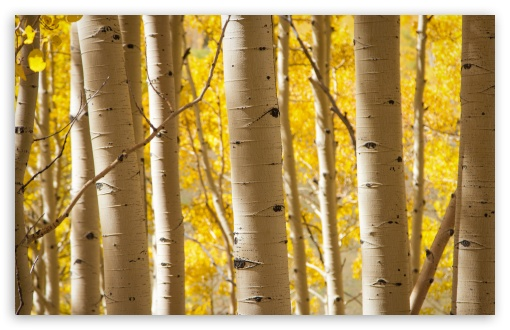 Birch Trees HD wallpaper for Wide 16:10 5:3 Widescreen WHXGA WQXGA WUXGA WXGA WGA ; HD 16:9 High Definition WQHD QWXGA 1080p 900p 720p QHD nHD ; UHD 16:9 WQHD QWXGA 1080p 900p 720p QHD nHD ; Standard 4:3 5:4 3:2 Fullscreen UXGA XGA SVGA QSXGA SXGA DVGA HVGA HQVGA devices ( Apple PowerBook G4 iPhone 4 3G 3GS iPod Touch ) ; Tablet 1:1 ; iPad 1/2/Mini ; Mobile 4:3 5:3 3:2 16:9 5:4 - UXGA XGA SVGA WGA DVGA HVGA HQVGA devices ( Apple PowerBook G4 iPhone 4 3G 3GS iPod Touch ) WQHD QWXGA 1080p 900p 720p QHD nHD QSXGA SXGA ; Dual 16:10 5:3 16:9 4:3 5:4 WHXGA WQXGA WUXGA WXGA WGA WQHD QWXGA 1080p 900p 720p QHD nHD UXGA XGA SVGA QSXGA SXGA ;