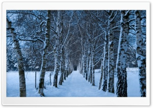 Birch Trees Alley, Winter HD Wide Wallpaper for 4K UHD Widescreen desktop & smartphone