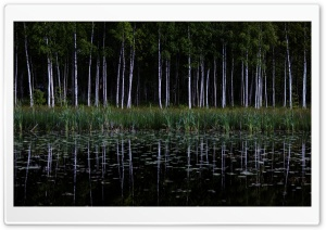 Birch Trees Forest, Lake...