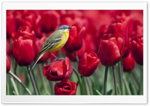 Bird and Red Tulips HD Wide Wallpaper for 4K UHD Widescreen desktop & smartphone