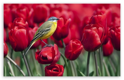 Bird and Red Tulips ❤ 4K UHD Wallpaper for Wide 16:10 5:3 Widescreen WHXGA WQXGA WUXGA WXGA WGA ; 4K UHD 16:9 Ultra High Definition 2160p 1440p 1080p 900p 720p ; Standard 4:3 5:4 3:2 Fullscreen UXGA XGA SVGA QSXGA SXGA DVGA HVGA HQVGA ( Apple PowerBook G4 iPhone 4 3G 3GS iPod Touch ) ; Tablet 1:1 ; iPad 1/2/Mini ; Mobile 4:3 5:3 3:2 16:9 5:4 - UXGA XGA SVGA WGA DVGA HVGA HQVGA ( Apple PowerBook G4 iPhone 4 3G 3GS iPod Touch ) 2160p 1440p 1080p 900p 720p QSXGA SXGA ;