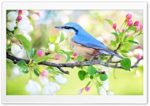 Bird, Blossom Tree Branch, Springtime HD Wide Wallpaper for 4K UHD Widescreen desktop & smartphone