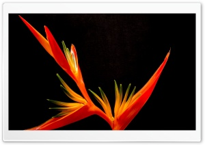 Bird Of Paradise Flower HD Wide Wallpaper for Widescreen