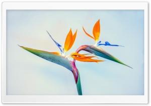 Bird of Paradise Flower HD Wide Wallpaper for 4K UHD Widescreen desktop & smartphone