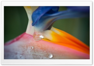 Bird Of Paradise Flower And Droplets HD Wide Wallpaper for Widescreen