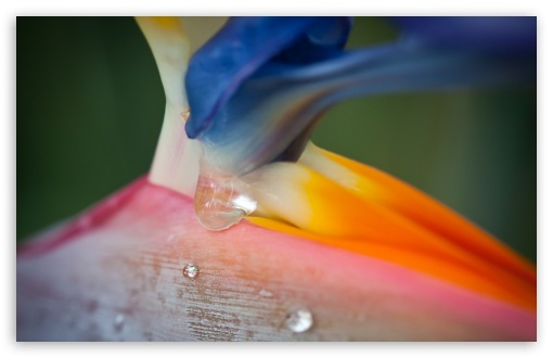 Bird Of Paradise Flower And Droplets ❤ 4K UHD Wallpaper for Wide 16:10 5:3 Widescreen WHXGA WQXGA WUXGA WXGA WGA ; 4K UHD 16:9 Ultra High Definition 2160p 1440p 1080p 900p 720p ; UHD 16:9 2160p 1440p 1080p 900p 720p ; Standard 4:3 5:4 3:2 Fullscreen UXGA XGA SVGA QSXGA SXGA DVGA HVGA HQVGA ( Apple PowerBook G4 iPhone 4 3G 3GS iPod Touch ) ; Smartphone 5:3 WGA ; Tablet 1:1 ; iPad 1/2/Mini ; Mobile 4:3 5:3 3:2 16:9 5:4 - UXGA XGA SVGA WGA DVGA HVGA HQVGA ( Apple PowerBook G4 iPhone 4 3G 3GS iPod Touch ) 2160p 1440p 1080p 900p 720p QSXGA SXGA ;