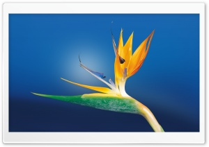Bird Of Paradise Flower, Blue Background HD Wide Wallpaper for Widescreen