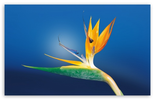 Bird Of Paradise Flower, Blue Background ❤ 4K UHD Wallpaper for Wide 16:10 5:3 Widescreen WHXGA WQXGA WUXGA WXGA WGA ; 4K UHD 16:9 Ultra High Definition 2160p 1440p 1080p 900p 720p ; UHD 16:9 2160p 1440p 1080p 900p 720p ; Standard 4:3 5:4 3:2 Fullscreen UXGA XGA SVGA QSXGA SXGA DVGA HVGA HQVGA ( Apple PowerBook G4 iPhone 4 3G 3GS iPod Touch ) ; Smartphone 5:3 WGA ; Tablet 1:1 ; iPad 1/2/Mini ; Mobile 4:3 5:3 3:2 16:9 5:4 - UXGA XGA SVGA WGA DVGA HVGA HQVGA ( Apple PowerBook G4 iPhone 4 3G 3GS iPod Touch ) 2160p 1440p 1080p 900p 720p QSXGA SXGA ;