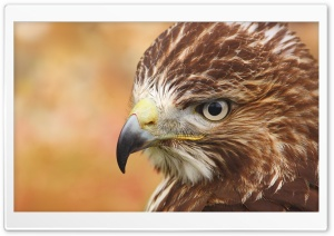 Bird Of Prey HD Wide Wallpaper for Widescreen
