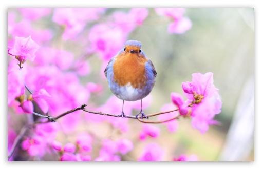 Bird, Pink Flowers, Springtime ❤ 4K UHD Wallpaper for Wide 16:10 5:3 Widescreen WHXGA WQXGA WUXGA WXGA WGA ; UltraWide 21:9 24:10 ; 4K UHD 16:9 Ultra High Definition 2160p 1440p 1080p 900p 720p ; UHD 16:9 2160p 1440p 1080p 900p 720p ; Standard 4:3 5:4 3:2 Fullscreen UXGA XGA SVGA QSXGA SXGA DVGA HVGA HQVGA ( Apple PowerBook G4 iPhone 4 3G 3GS iPod Touch ) ; Smartphone 16:9 3:2 5:3 2160p 1440p 1080p 900p 720p DVGA HVGA HQVGA ( Apple PowerBook G4 iPhone 4 3G 3GS iPod Touch ) WGA ; Tablet 1:1 ; iPad 1/2/Mini ; Mobile 4:3 5:3 3:2 16:9 5:4 - UXGA XGA SVGA WGA DVGA HVGA HQVGA ( Apple PowerBook G4 iPhone 4 3G 3GS iPod Touch ) 2160p 1440p 1080p 900p 720p QSXGA SXGA ;