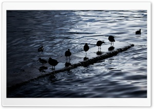 Birds. Lake Titicaca, Bolivia HD HD Wide Wallpaper for Widescreen
