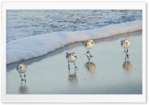 Birds On The Beach HD Wide Wallpaper for Widescreen