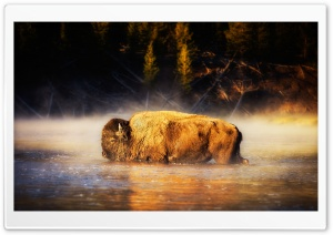 Bison HD Wide Wallpaper for Widescreen