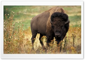 Bison 1 HD Wide Wallpaper for Widescreen