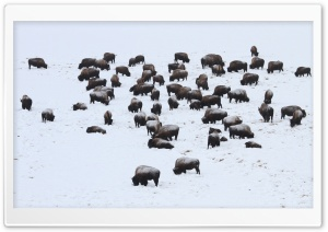 Bison In Hayden Valley HD Wide Wallpaper for Widescreen