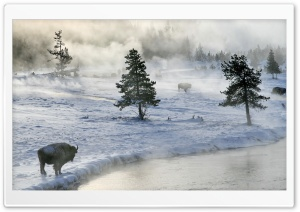 Bison In Winter HD Wide Wallpaper for Widescreen