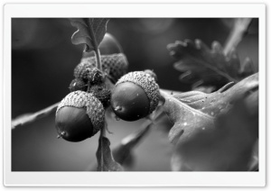 Black and White Acorns HD Wide Wallpaper for Widescreen
