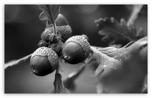 Black and White Acorns HD wallpaper for Wide 16:10 5:3 Widescreen WHXGA WQXGA WUXGA WXGA WGA ; HD 16:9 High Definition WQHD QWXGA 1080p 900p 720p QHD nHD ; UHD 16:9 WQHD QWXGA 1080p 900p 720p QHD nHD ; Standard 4:3 5:4 3:2 Fullscreen UXGA XGA SVGA QSXGA SXGA DVGA HVGA HQVGA devices ( Apple PowerBook G4 iPhone 4 3G 3GS iPod Touch ) ; Tablet 1:1 ; iPad 1/2/Mini ; Mobile 4:3 5:3 3:2 16:9 5:4 - UXGA XGA SVGA WGA DVGA HVGA HQVGA devices ( Apple PowerBook G4 iPhone 4 3G 3GS iPod Touch ) WQHD QWXGA 1080p 900p 720p QHD nHD QSXGA SXGA ;