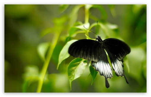 Black And White Butterfly HD wallpaper for Wide 16:10 5:3 Widescreen WHXGA WQXGA WUXGA WXGA WGA ; HD 16:9 High Definition WQHD QWXGA 1080p 900p 720p QHD nHD ; Standard 4:3 5:4 3:2 Fullscreen UXGA XGA SVGA QSXGA SXGA DVGA HVGA HQVGA devices ( Apple PowerBook G4 iPhone 4 3G 3GS iPod Touch ) ; Tablet 1:1 ; iPad 1/2/Mini ; Mobile 4:3 5:3 3:2 16:9 5:4 - UXGA XGA SVGA WGA DVGA HVGA HQVGA devices ( Apple PowerBook G4 iPhone 4 3G 3GS iPod Touch ) WQHD QWXGA 1080p 900p 720p QHD nHD QSXGA SXGA ;