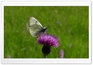 Black And White Butterfly HD Wide Wallpaper for Widescreen