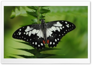 Black And White Butterfly Macro HD Wide Wallpaper for Widescreen