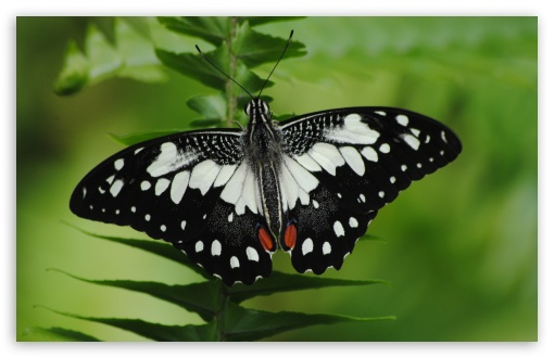 Black And White Butterfly Macro ❤ 4K UHD Wallpaper for Wide 16:10 5:3 Widescreen WHXGA WQXGA WUXGA WXGA WGA ; 4K UHD 16:9 Ultra High Definition 2160p 1440p 1080p 900p 720p ; UHD 16:9 2160p 1440p 1080p 900p 720p ; Standard 4:3 5:4 3:2 Fullscreen UXGA XGA SVGA QSXGA SXGA DVGA HVGA HQVGA ( Apple PowerBook G4 iPhone 4 3G 3GS iPod Touch ) ; iPad 1/2/Mini ; Mobile 4:3 5:3 3:2 16:9 5:4 - UXGA XGA SVGA WGA DVGA HVGA HQVGA ( Apple PowerBook G4 iPhone 4 3G 3GS iPod Touch ) 2160p 1440p 1080p 900p 720p QSXGA SXGA ;