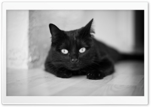 Black And White Cat HD Wide Wallpaper for Widescreen