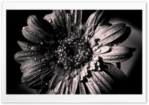 Black and White Gerbera HD Wide Wallpaper for Widescreen