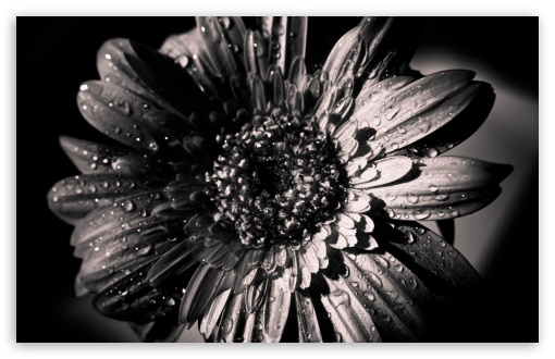 Black and White Gerbera ❤ 4K UHD Wallpaper for Wide 16:10 5:3 Widescreen WHXGA WQXGA WUXGA WXGA WGA ; 4K UHD 16:9 Ultra High Definition 2160p 1440p 1080p 900p 720p ; Standard 4:3 5:4 3:2 Fullscreen UXGA XGA SVGA QSXGA SXGA DVGA HVGA HQVGA ( Apple PowerBook G4 iPhone 4 3G 3GS iPod Touch ) ; Tablet 1:1 ; iPad 1/2/Mini ; Mobile 4:3 5:3 3:2 16:9 5:4 - UXGA XGA SVGA WGA DVGA HVGA HQVGA ( Apple PowerBook G4 iPhone 4 3G 3GS iPod Touch ) 2160p 1440p 1080p 900p 720p QSXGA SXGA ;