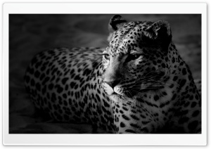 Black And White Jaguar HD Wide Wallpaper for 4K UHD Widescreen desktop & smartphone