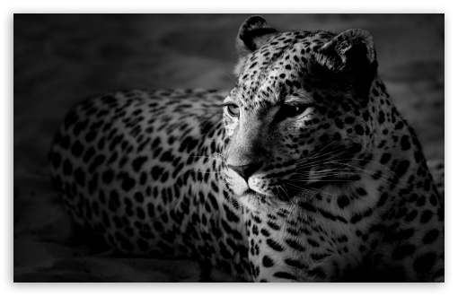 Black And White Jaguar HD wallpaper for Wide 16:10 5:3 Widescreen WHXGA WQXGA WUXGA WXGA WGA ; HD 16:9 High Definition WQHD QWXGA 1080p 900p 720p QHD nHD ; Standard 3:2 Fullscreen DVGA HVGA HQVGA devices ( Apple PowerBook G4 iPhone 4 3G 3GS iPod Touch ) ; Tablet 1:1 ; Mobile 5:3 3:2 16:9 - WGA DVGA HVGA HQVGA devices ( Apple PowerBook G4 iPhone 4 3G 3GS iPod Touch ) WQHD QWXGA 1080p 900p 720p QHD nHD ;