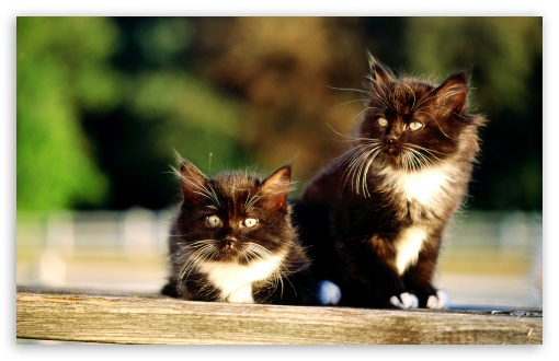 Black And White Kittens HD wallpaper for Wide 16:10 5:3 Widescreen WHXGA WQXGA WUXGA WXGA WGA ; HD 16:9 High Definition WQHD QWXGA 1080p 900p 720p QHD nHD ; Standard 4:3 5:4 3:2 Fullscreen UXGA XGA SVGA QSXGA SXGA DVGA HVGA HQVGA devices ( Apple PowerBook G4 iPhone 4 3G 3GS iPod Touch ) ; Tablet 1:1 ; iPad 1/2/Mini ; Mobile 4:3 5:3 3:2 16:9 5:4 - UXGA XGA SVGA WGA DVGA HVGA HQVGA devices ( Apple PowerBook G4 iPhone 4 3G 3GS iPod Touch ) WQHD QWXGA 1080p 900p 720p QHD nHD QSXGA SXGA ;