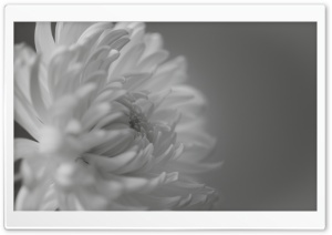 Black and White Mum Macro HD Wide Wallpaper for Widescreen
