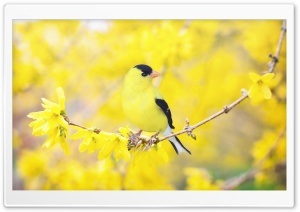 Black and Yellow Bird, Forsythia Flowers, Spring HD Wide Wallpaper for Widescreen