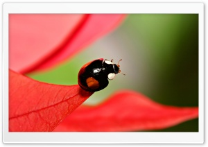 Black Beetles With Red Spots HD Wide Wallpaper for Widescreen