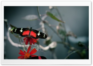 Black Butterfly HD Wide Wallpaper for Widescreen