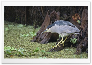 Black Crowned Night Heron Fishing Corkscrew Swamp Sanctuary Florida HD Wide Wallpaper for 4K UHD Widescreen desktop & smartphone
